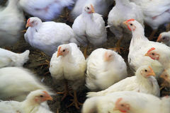 Poultry farm Royalty Free Stock Photos