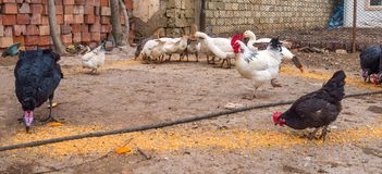 Poultry in the farm yard. Feeding poultry royalty free stock image