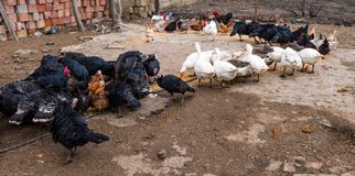 Feeding poultry in farm stock photography