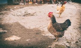 Poultry in the farm yard Royalty Free Stock Photography