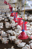 Poultry farm with young white chicken being bred for meat Stock Photos