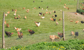 Poultry farming in Brueil en Vexin Royalty Free Stock Photo
