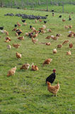 Poultry farming in Brueil en Vexin Royalty Free Stock Image