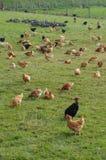 Poultry farming in Brueil en Vexin Royalty Free Stock Image