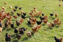 Poultry farming in Brueil en Vexin. France, poultry farming in Brueil en Vexin Royalty Free Stock Photo