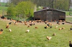 Poultry farming in Brueil en Vexin Royalty Free Stock Photo