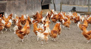 Poultry farming in Brueil en Vexin Stock Images