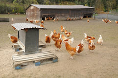 Poultry farming in Brueil en Vexin Royalty Free Stock Photography