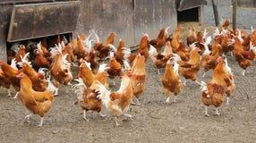 Poultry farming in Brueil en Vexin Stock Image