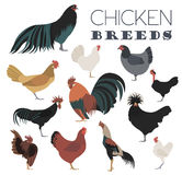 Poultry farming. Chicken breeds icon set. Flat design Stock Photography