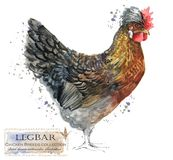 Poultry farming. Chicken breeds series. domestic bird watercolor illustration Stock Photos