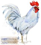 Poultry farming. Chicken breeds series. domestic farm bird Royalty Free Stock Photos