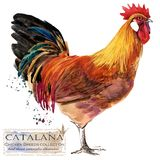 Poultry farming. Chicken breeds series. domestic farm bird illustration. Poultry farming. Chicken breeds series. domestic farm bird watercolor illustration stock illustration