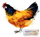 Poultry farming. Chicken breeds series. domestic farm bird. Watercolor illustration Stock Photo