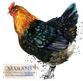 Poultry farming. Chicken breeds series. domestic farm bird. Watercolor illustration vector illustration