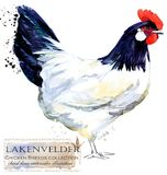 Poultry farming. Chicken breeds series. domestic farm bird royalty free illustration