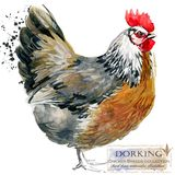 Poultry farming. Chicken breeds series. domestic farm bird. Watercolor illustration Royalty Free Stock Image