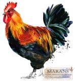 Poultry farming. Chicken breeds series. domestic farm bird. Watercolor illustration royalty free illustration