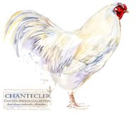 Poultry farming. Chicken breeds series. domestic farm bird. Watercolor illustration Royalty Free Stock Images