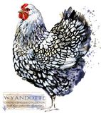 Poultry farming. Chicken breeds series. domestic farm bird watercolor illustration. Poultry farming. Chicken breeds series. domestic farm bird hand draw Stock Image