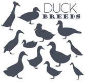 Poultry farming. Duck breeds icon set. Flat design Royalty Free Stock Image