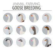 Poultry farming. Goose breeds icon set. Flat design Royalty Free Stock Photography