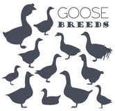 Poultry farming. Goose breeds icon set. Flat design Royalty Free Stock Photos