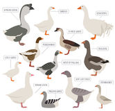 Poultry farming. Goose breeds icon set. Flat design. Vector illustration Stock Photo