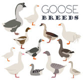 Poultry farming. Goose breeds icon set. Flat design Stock Photography
