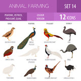 Poultry farming. Peafowl, ostrich, pheasant, quail breeds icon s. Et. Flat design. Vector illustration Royalty Free Stock Photography