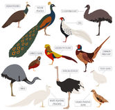 Poultry farming. Peafowl, ostrich, pheasant, quail breeds icon s. Et. Flat design. Vector illustration Stock Image