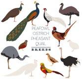 Poultry farming. Peafowl, ostrich, pheasant, quail breeds icon s. Et. Flat design. Vector illustration Stock Photography