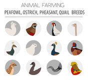 Poultry farming. Peafowl, ostrich, pheasant, quail breeds icon s. Et. Flat design. Vector illustration Royalty Free Stock Images