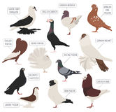 Poultry farming. Pigeon breeds icon set. Flat design Royalty Free Stock Photos