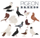 Poultry farming. Pigeon breeds icon set. Flat design. Vector illustration Stock Images