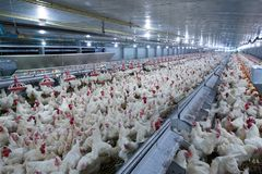 Poultry farming for the purpose of farming meat or eggs for food 2. Poultry farm with chicken. Husbandry, housing business for the purpose of farming meat, White royalty free stock photography