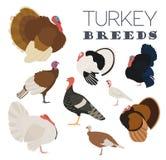 Poultry farming. Turkey breeds icon set. Flat design. Vector illustration Stock Images