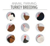 Poultry farming. Turkey breeds icon set. Flat design Stock Photo