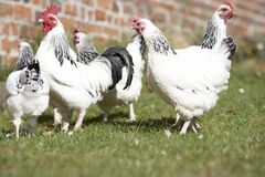 Poultry In Farmyard Stock Image
