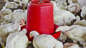 Poultry feeder Royalty Free Stock Photography
