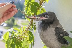 Poultry feeding. little crow eats with a spoon and tweezers. the concept of care for the offspring stock photography