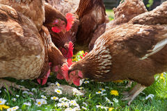 Poultry in field Royalty Free Stock Photos