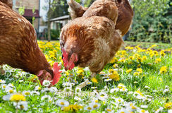 Poultry in field Stock Photo