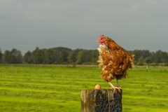 Poultry - Free range brown layer Royalty Free Stock Images
