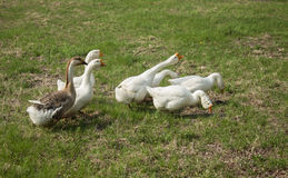 Poultry - goose. Goose as poultry, can provide people with meat, feathers, eggs, etc all kinds of articles for daily use Royalty Free Stock Images