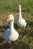 Poultry the goose royalty free stock photography