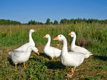 Poultry the goose royalty free stock images