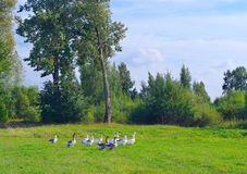 Poultry gooses. Stock Images
