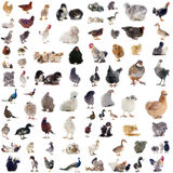 Poultry Stock Photos