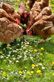 Poultry In Field Royalty Free Stock Images